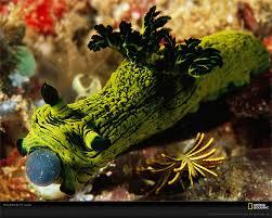 Nudibranco tunicato